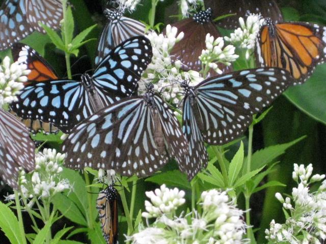 フジバカマの花の蜜を吸うチョウたち 2