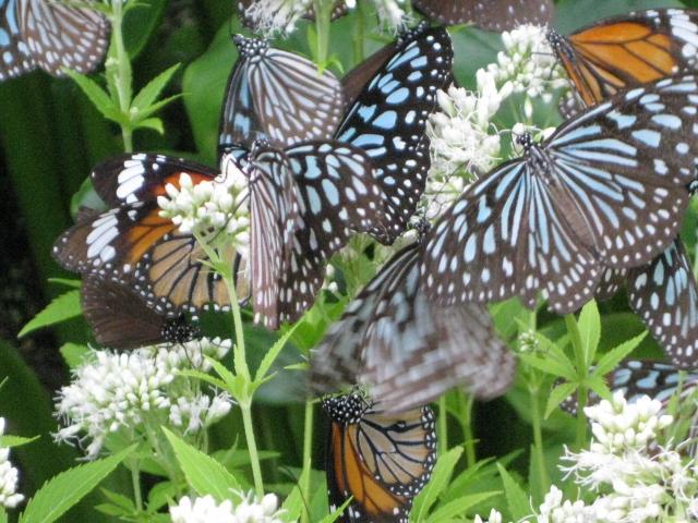 フジバカマの花の蜜を吸うチョウたち 3