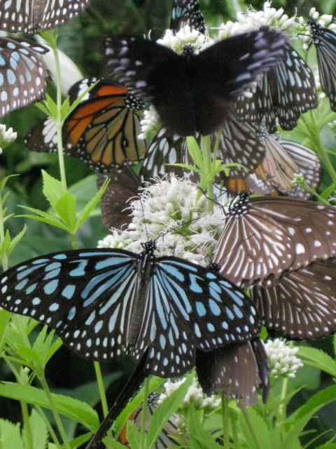フジバカマの花の蜜を吸うチョウたち 4
