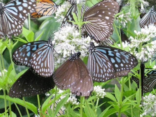 フジバカマの花の蜜を吸うチョウたち 5