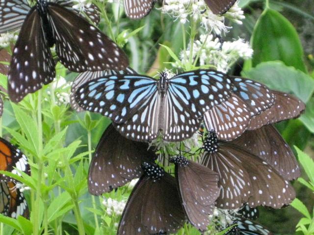 フジバカマの花の蜜を吸うチョウたち 6