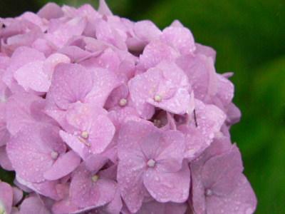 紫陽花20