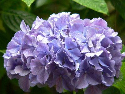 紫陽花23