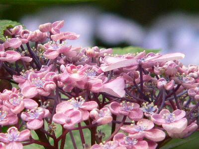 紫陽花28
