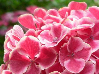 紫陽花31