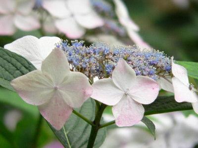 紫陽花33