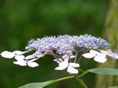 紫陽花35