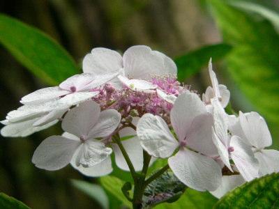 紫陽花36