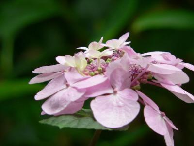 紫陽花40