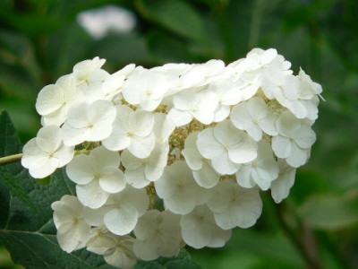 紫陽花42