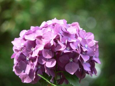 紫陽花44