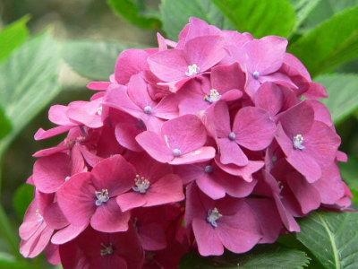 紫陽花46