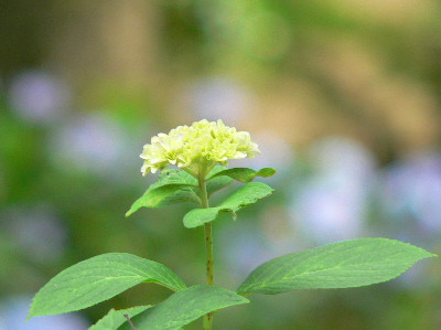 紫陽花50