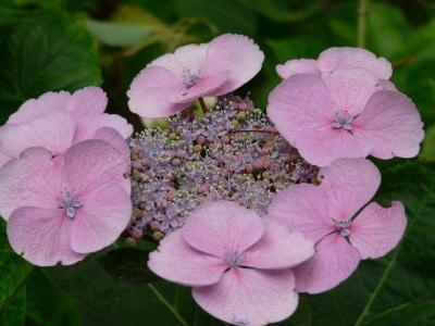 紫陽花51
