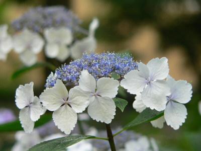 紫陽花52