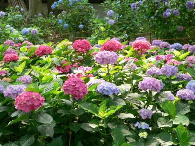紫陽花53