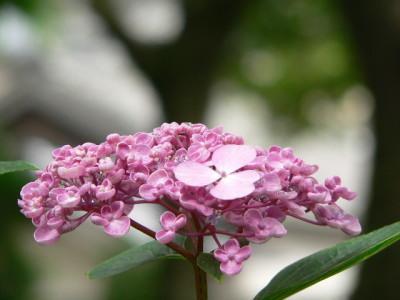 紫陽花54