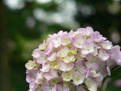 紫陽花55