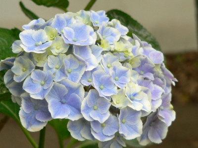 紫陽花58