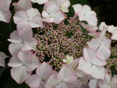 紫陽花59