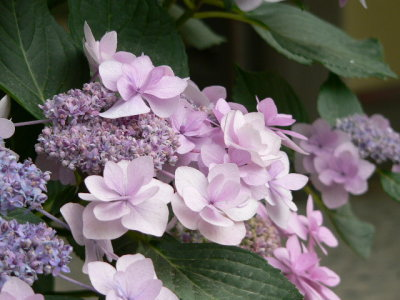 紫陽花60