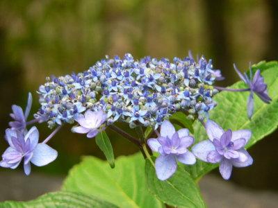 紫陽花61