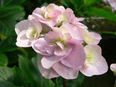 紫陽花63