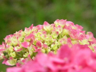 紫陽花65