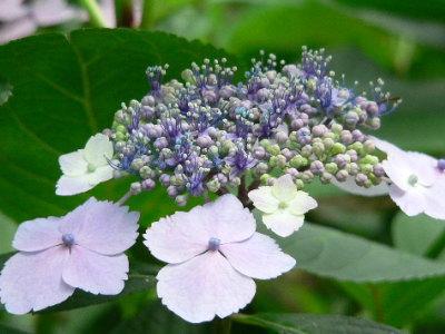紫陽花66