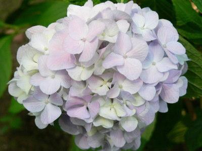 紫陽花67