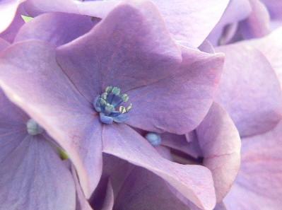 紫陽花68