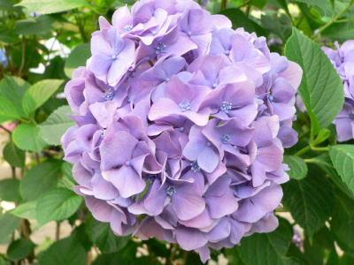 紫陽花69