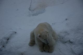 だらしなすわりの白熊さん。