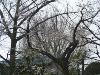 我が家のリビングから見える桜