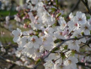 ご近所の桜です。これは5分咲きの頃だったかな?