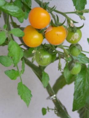 テラスで越冬してもらった黄色いプチトマトが豊作です