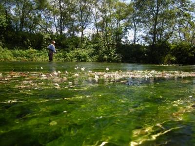 梅花藻(バイカモ)の咲く湧水の川