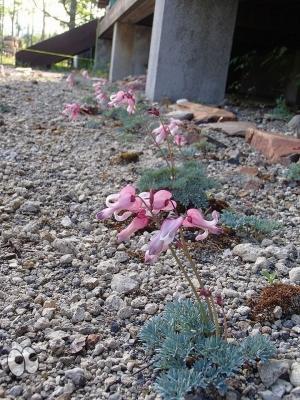 高山植物のコマクサ