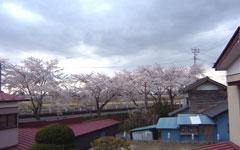 若柳の桜並木