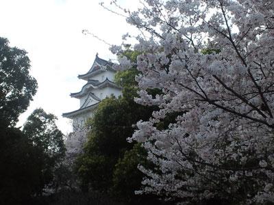 明石城公園 桜