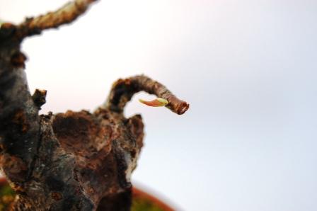 梅盆栽の新芽