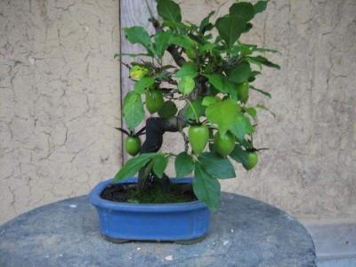 老爺柿の盆栽