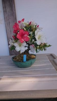 皐月の盆栽
