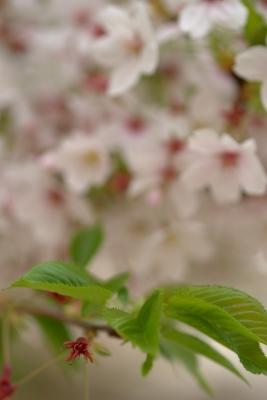 葉桜 その2