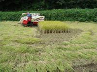 コシヒカリ稲刈り風景