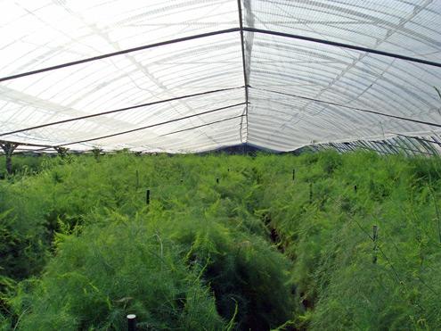 グリーンアスパラガス畑