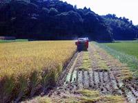 ヒノヒカリの稲刈りの様子