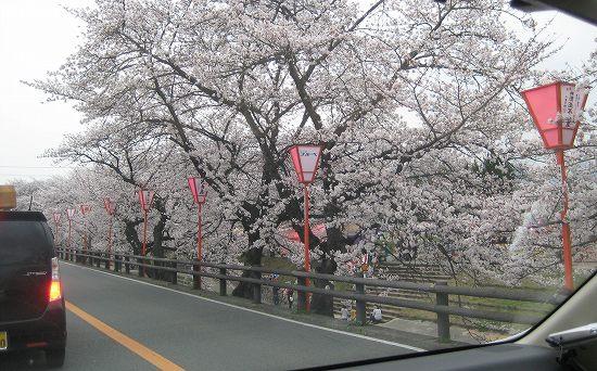 大中公園の桜