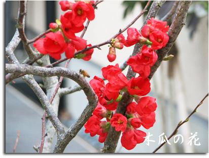 達人村に咲く木瓜の花
