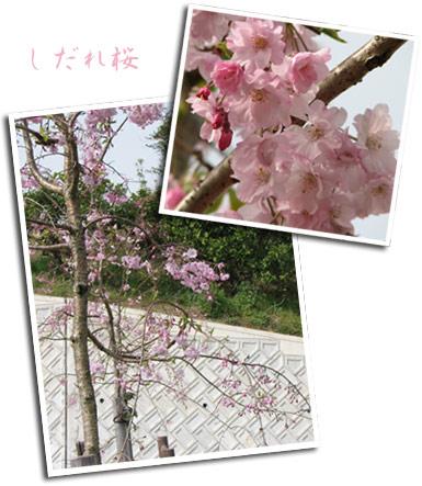 *しだれ桜*